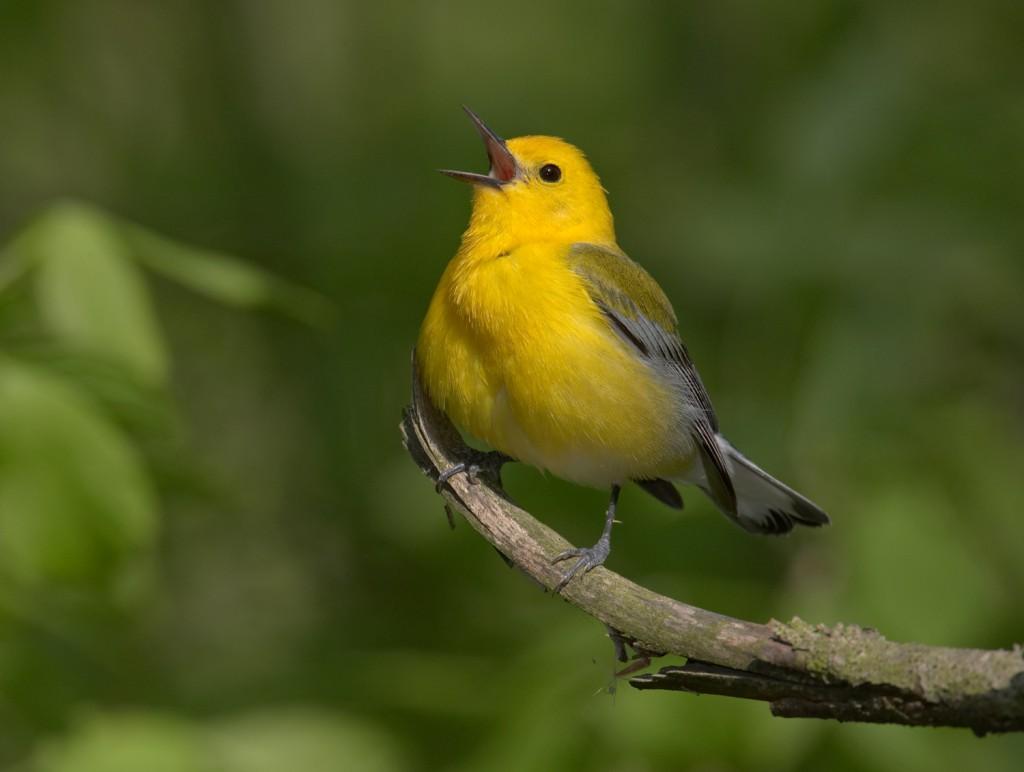 prothonotarywarbler